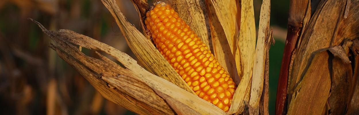 an ear of corn in a field